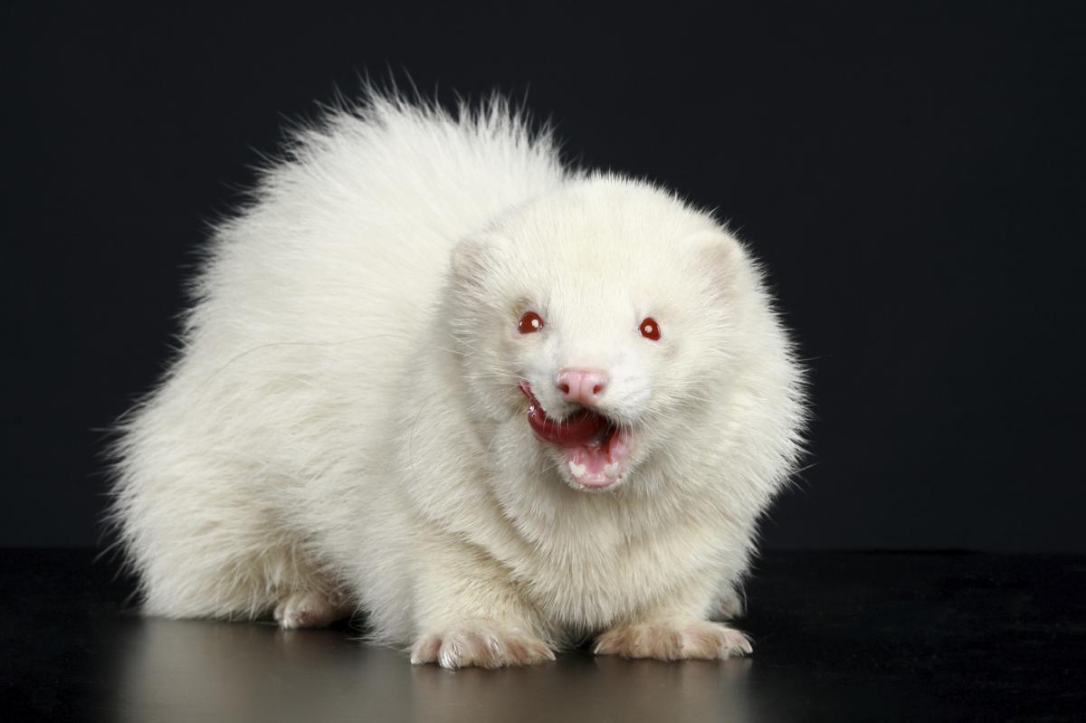 1200-15017637-angry-albino-ferret
