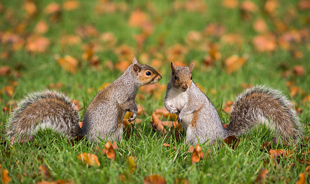 Two squirrels in Hyde Park London.